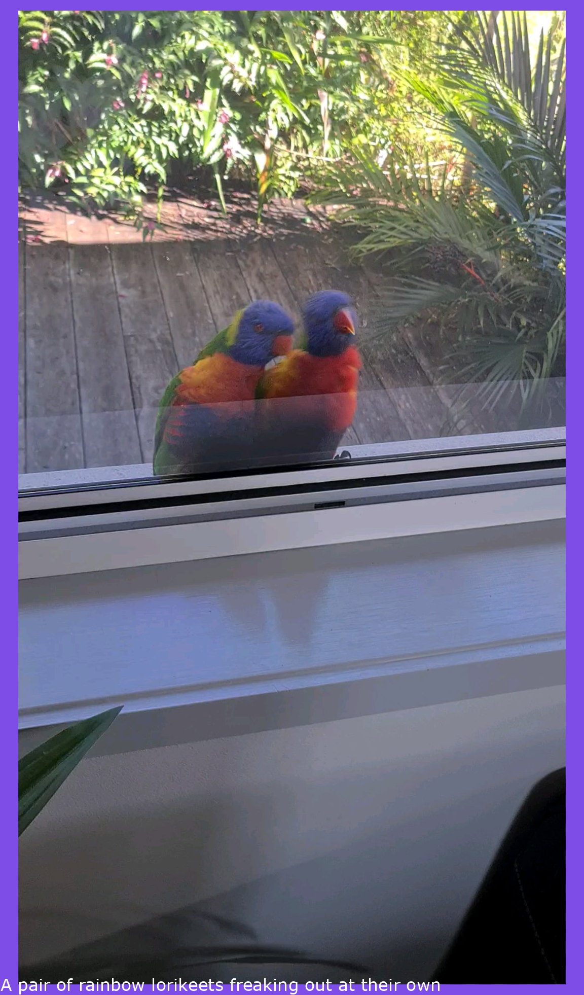 A pair of rainbow lorikeets freaking out at their own reflections